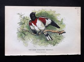 Gedney 1888 Antique Hand Col Bird Print. Rose Breasted Troopial